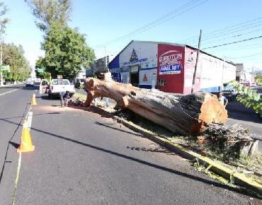 En Zamora realizan retiro de árbol seco de grandes dimensiones